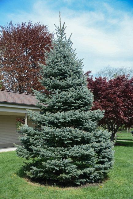 Picea Pungens Glauca Group